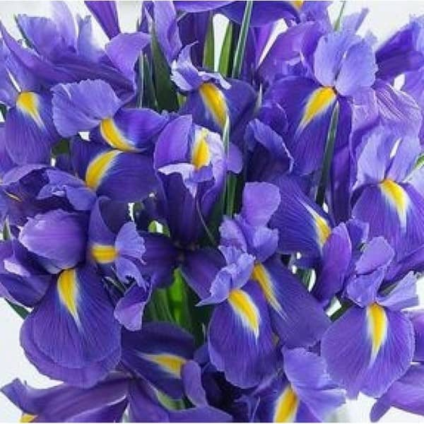 iiris lill 4
