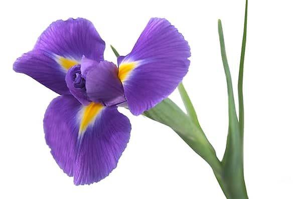 iiris lill 2
